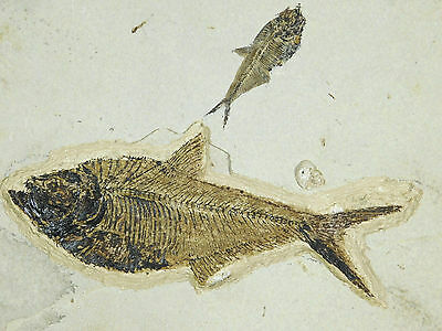A Big! 50 Million Year Old Diplomystus Fish Fossil With A Baby Neat! 2500gr e