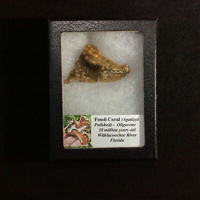 Agatized Fossil Coral 170565 In Collectors Box Metaphysical Emotional Balance