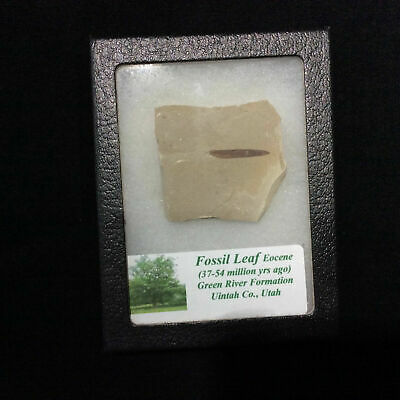 Fossil Leaf 170501 Eocene In Collectors Box Green River Formation Utah