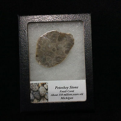 Petosky Stone Fossil Coral 170503 In Collectors Box Metaphysical