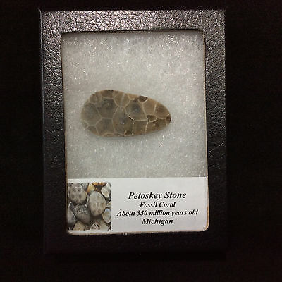 Petosky Stone Fossil Coral 170505 In Collectors Box Metaphysical