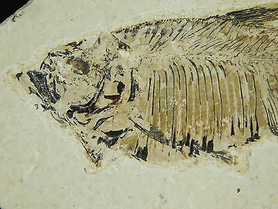 A 100% Natural X-RAY Like Diplomystus Fossil Fish Found in Wyoming 310gr