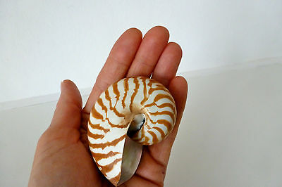 Natural Nautilus Shell - small, 6.5 cm in length
