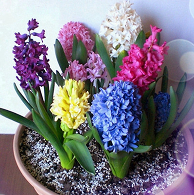 50 Mixed Hyacinth Seeds Easy To Grow Potted Bonsai Plant For Garden & Home