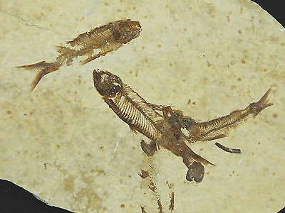 School of THREE! Small 100% Natural Fish Fossils 50 Million Years Old Wy 186gr