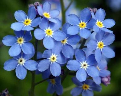 Forget Me Not Seed, Myosotis Sylvatica, Blue Flowers, Heirloom Flower Seed