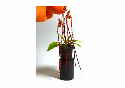 AWASOME!! Mini Bonsai Orchid seeds balcony  flower pot seeds,100 Seeds