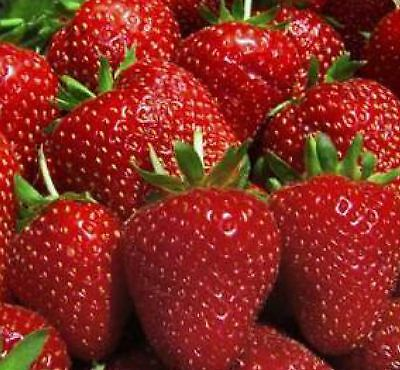 Ozark Beauty Everbearer Strawberry Plants - 10 root divisions
