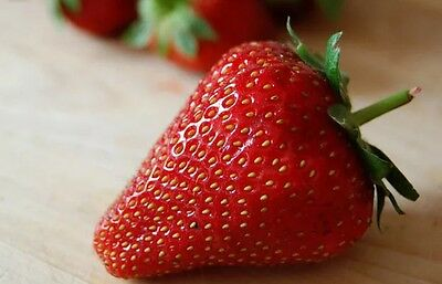 10 SEASCAPE Strawberry Plants - BEST Ever-bearing / Day-neutral strawberries