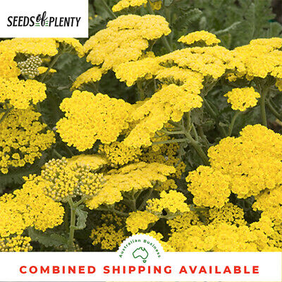 ACHILLEA - Golden Yarrow (2000 Seeds) FERNLEAF YARROW Cloth of Gold Flower BULK