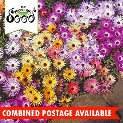 DAISY  - Livingstone (12000 Seeds) FIG MARIGOLD Ice Plant WINTER BLOOM Bulk