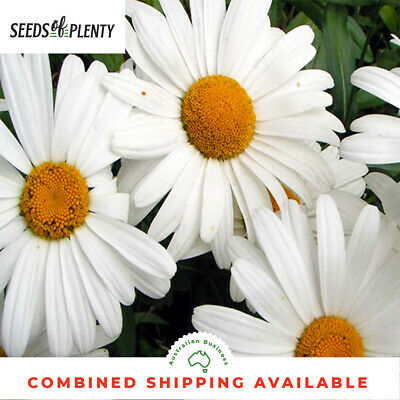 DAISY  - Shasta 'Silver Princess' (300 Seeds) CUT FLOWERS Spreading Groundcover