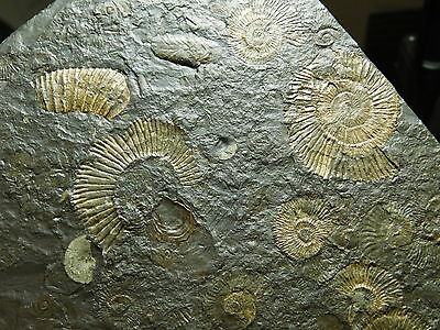 EIGHT! 100%Natural Harpoceras AMMONITE Fossils in Matrix W Stand Germany 355gr e