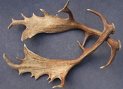 Set Of Fallow Deer Shed Antlers, Taxidermy, Hunting, Log Home, Rustic