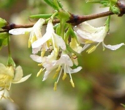1 x LONICERA FRAGRANTISMA,highly scented winter honeysuckle,very hardy
