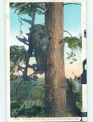 Damaged W-Border BLACK BEAR CLIMBS UP TREE IN YELLOWSTONE PARK WYOMING WY HL6290