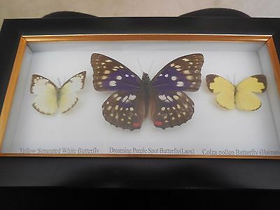 REAL FRAMED BUTTERFLY's  DREAMING PURPLE SPOT, YELLOW SEP. WHITE, COLZA POLLEN