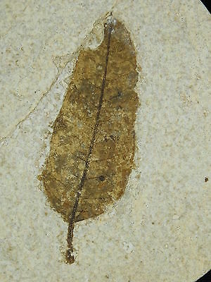 A Very Well DEFINED 100% Natural 50 Million Year Old LEAF Fossil Wyoming 247gr