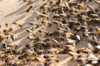 honey bee colony - nuc box with 4, 5 or 6 frames