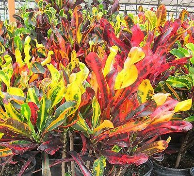 Croton Plant Brightly Coloured Mixed Varieties X 5 Plants Evergreen Housepplants