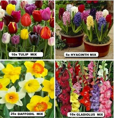 10x -BULBS- GLADIOLUS - Tulips - DAFFODILS- Dutch Iris