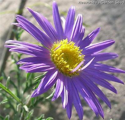 PRAIRIE ASTER Wildflower (TANACETIFOLIA) ANNUAL SEEDS