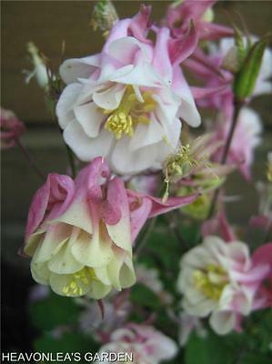 COLUMBINE (Aquilegia) Beautiful WINKY PINK & WHITE Perennial Flower SEEDS