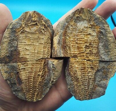 224g  Both sides of the fish well-preserved Million Year  Old fish fossils G56