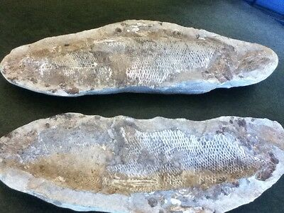 Fossil Fish Concretion From Brazil