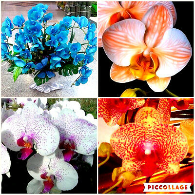Phalaenopsis Orchid Plant Seeds Flowers Butterfly Orchid Seedlings 30 pcs h85