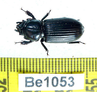 Be1053 Passalidae Beetle Real Insect Vietnam
