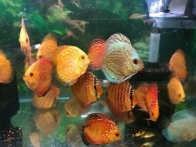 10 x    Discus fish  , free shipping, uk's largest discus pet shop only discus