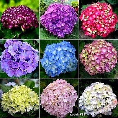 20 Seeds Hydrangea Flowers Mixed 11 colors For Garden Flower Seeds
