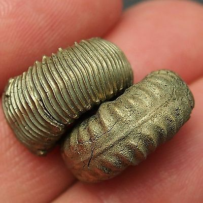 18-20mm PYRITE AMMONITE Fossil Toarcian Jurassic Aveyron fossilien shell lot