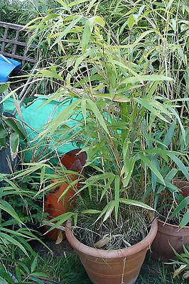 Large Bamboo great for screening