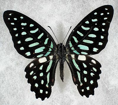 """Insect/Butterfly/ Graphium arycels sphinx - Male 2 1/4"""" RARE"""