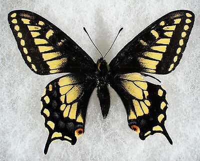 """Insect/Butterfly/ Papilio nitra - Male 2.5"""" A2 VERY RARE"""