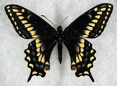 """Insect/Butterfly/ Papilio nitra - Male 2 3/8"""" VERY RARE"""