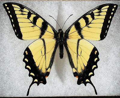 """Insect/Butterfly/ Papilio turnus - Male 3"""" long tails"""