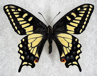 """Insect/Butterfly/ Papilio zelicaon gothica - Male 2.5"""""""