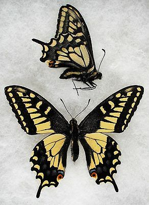 Insect/Butterfly/ Papilio zelicaon gothica - 2 Males