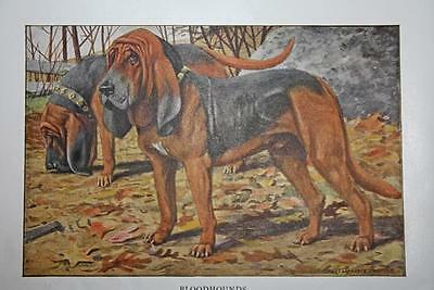 """VINTAGE 1919 National Geographic Dog BLOODHOUNDS 5.5"""" X 3.5"""" Fabulous Print"""