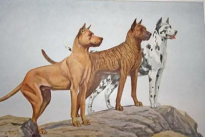 """VINTAGE 1919 National Geographic Dog GREAT DANES 7.75"""" X 5.5"""" GREAT PRINT!"""