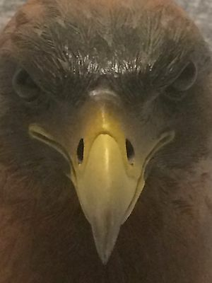 Golden Eagle From UK Feathers Gallery Hand Crafted Sculpture