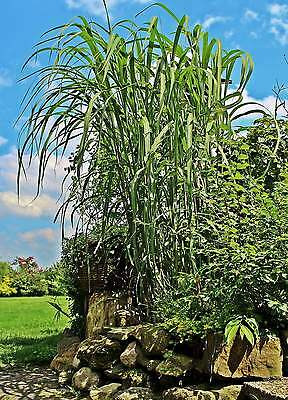 miscanthus giganteus 10qm riesen chinaschilf winterhart. Black Bedroom Furniture Sets. Home Design Ideas