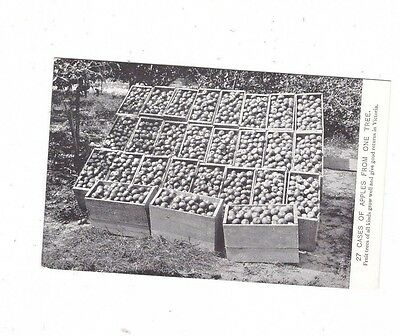 Australia VICTORIA Postcard, 27 CASES of APPLES from ONE TREE