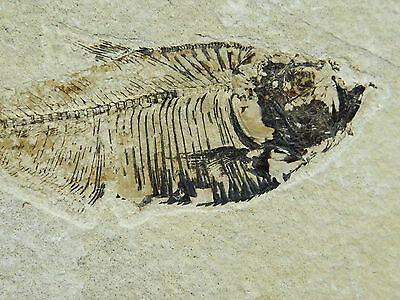 A Small Diplomystus Fossil Fish With X-RAY Like Bones! Found in Wyoming 327gr