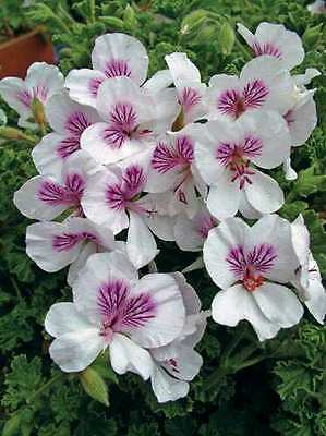 Butterfly Angel Pelargonium / Geranium x 1 Plant -- Scented Leaves