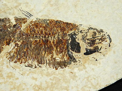 NICE SCALES! A 100% Natural Knightia Alta! Fossil Fish Found in Wyoming 416gr