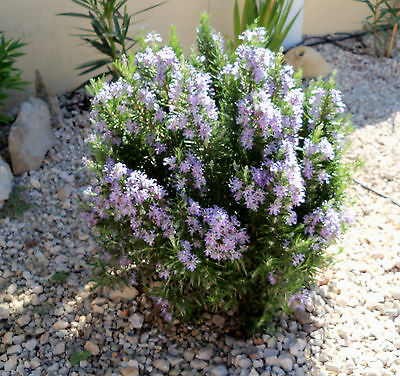 ROSEMARY  Rosmarinus officinalis 10 Freshly Cuttings easily to grown - no seeds